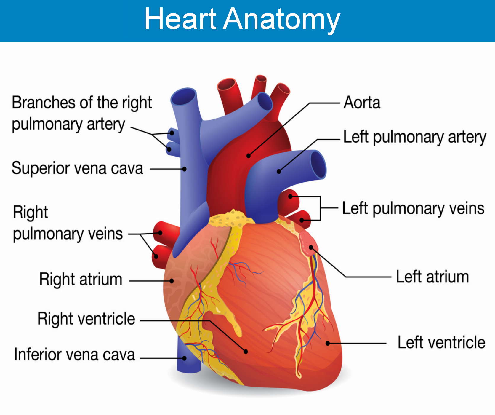 Cardiac Arrest, Human Heart Anatomy, cardiac arrest warning signs, cardiac arrest help, cardiac arrest first aid