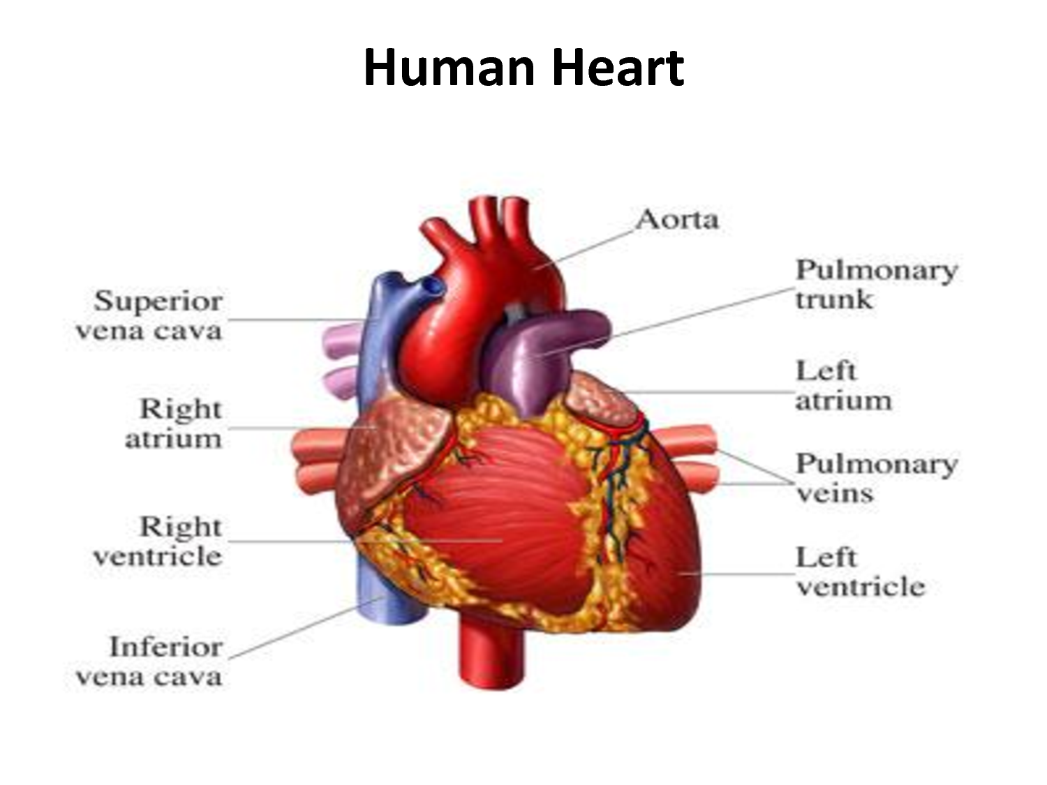 The Human Heart Cpr Certification Online First Aid Training Class