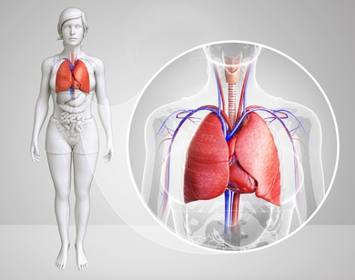 What is a Human Lung?, Oxygen, Organ, Respiration, Diaphragm, What, is, a, Human, Lung